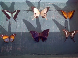 Butterflies found in Kempton Park