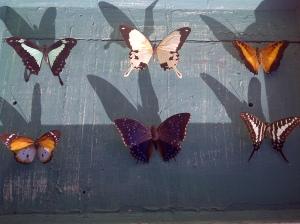 Butterflies found in Kempton Park