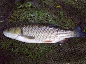 A Creek chub