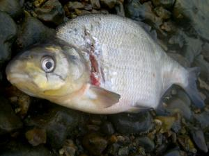 A Thames bream, showing signs of cormorant damage