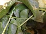 New season spinach