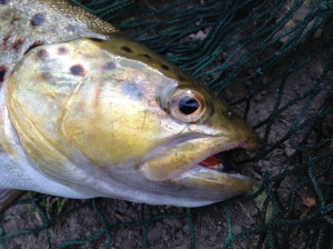 A River Wye brown trout