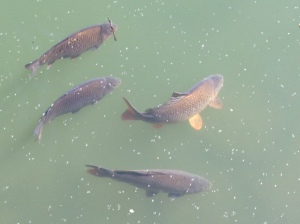 Carp in the margins near Windsor