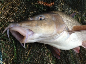 8lb 10oz Thames Barbel from the F&TPS water.