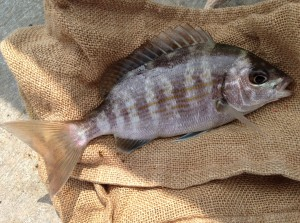 Small Guilthead Bream caught off the West Wall, Brighton