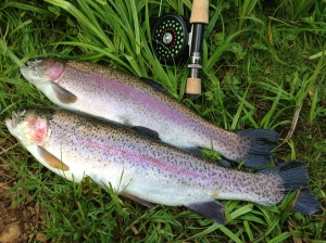 Rainbows from Robins Wood Fishery
